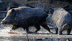 Груповият лов на дива свиня - не повече от два дни седмично