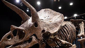 Частен колекционер купи за 6,65 млн. евро за вкаменелостите на рогатия динозавър